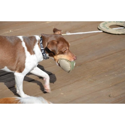 a brown dog carrying a ball in its mouth